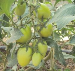 tomaten_m_gomez